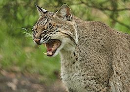 Realtor's video of bobcat vs. rattlesnake fight goes viral
